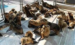 สิงโตทะเลนับร้อย ถูกคลื่นซัดเกยตื้นหาดสหรัฐ