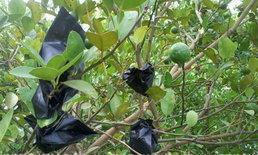 ไอเดียเกษตรกรไทยมะนาวห่อถุงดำเพิ่มมูลค่า