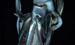 """นักวิทย์ญี่ปุ่นถ่ายติดภาพ""""ปลาหมึกยักษ์"""" 8 เมตร ในทะเลลึกแปซิฟิค"""