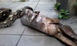 งูตะกละ! หนีน้ำท่วมซ่อนในบ้าน ก่อนเขมือบสุนัขทั้งตัว