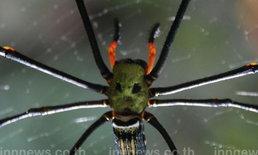 พบแมงมุมหน้าคน กลางป่าพิษณุโลก