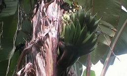 คนจันทบุรีขอเลขเด็ดจากต้นกล้วยประหลาด