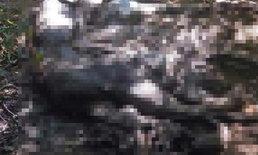 เด้ง!หน.อุทยานฯกุยบุรีเซ่นซากกระทิง16ตัว