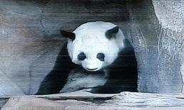 ทีมวิจัยลุ้นหลินฮุ่ยคลอดลูกยันเป็นตระกูลหมี