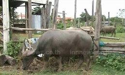ปศุสัตว์ลำปาง สั่งปิดชั่วคราว ตลาดซื้อขายโค กระบือ