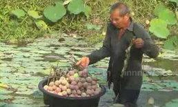ชาวนาบัวจันทบุรี รับทรัพย์ มาฆบูชา ราคาพุ่ง