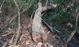 แก๊งมอดไม้เหิมบุกตัดไม้พะยูงในป่าสาธารณะ