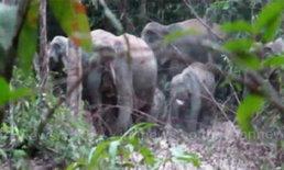 โขลงช้างป่าลงจากเขาแหลม คาด แหล่งอาหารหมด