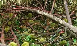 จันทบุรีพายุฤดูร้อนพัดสวน-บ้านเสียหาย1ลบ.