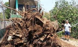 ต้นมะม่วงอายุนับร้อยปีล้มชาวบ้านบ่นเสียดาย