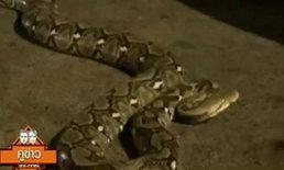 งูเหลือมเข้าบ้านหนุ่มใหญ่ ก่อนฉกที่ขา บาดเจ็บเล็กน้อย