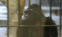 สวนสัตว์พาต้ายังไม่ได้ปิดตัว ยันเลี้ยงดูกอริล่าเป็นอย่างดี