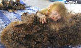 สลด ลูกลิงกอดซากแม่ ไม่รู้ถูกพรานป่ายิงดับ
