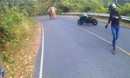 คลิปลุ้นระทึก หนุ่มสาวทิ้งบิ๊กไบค์หนี เจอช้างป่าขวางทางอยู่