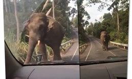คลิปสุดลุ้น หนุ่มสาวขับปิกอัพ เผชิญหน้าช้างป่าเขาใหญ่