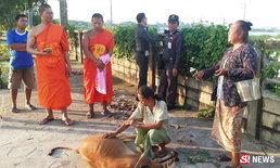 พระสงฆ์ยืนสวดแผ่เมตตาให้ลูกวัว ขอขมาที่รถชนตาย