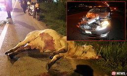 พยาบาลระทึก! ซิ่งเก๋งชนวัวตาย ส่งโรงฆ่าสัตว์เอาเงินซ่อมรถ