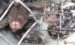 ชาวบ้านฮือฮา จับงูเหลือมยักษ์ เชื่อเป็นงูเจ้าหนองหาร