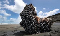 ชาวเน็ตฮือฮา หญิงพบเพรียงคอห่านจำนวนมากถูกคลื่นขึ้นฝั่งที่นิวซีแลนด์
