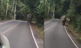 """คลิปอีกมุม ท้าทายช้างป่าเขาใหญ่ """"มันจะเร็วกว่ารถ..ได้ไง"""""""