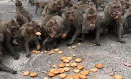 ช่วยจ๋อด้วย!! วอนบริจาคอาหารช่วยลิง เผยเคล็ดลับกินมังสวิรัติลดความดุร้าย