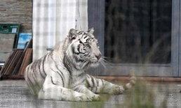 ระทึก! เสือโคร่งขาวหลุดจากคณะละครสัตว์ เดินบนถนนในอิตาลี
