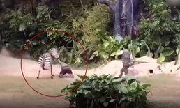 คลิปช็อก ม้าลายสวนสัตว์จีนคลั่ง กัดแขนเจ้าหน้าที่ลากไปกับพื้น