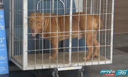 สุนัขพิทบูลกัดคนเลี้ยง คาดเป็นผลจากการเลี้ยงไม่ถูกวิธี