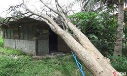 ต้นไม้พะยูงโค่นล้มทับบ้านนาน 3 เดือน กลัวโดนจับไม่กล้าตัด