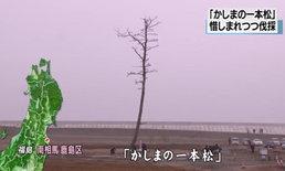 ญี่ปุ่นทำพิธีโค่น ต้นสนแห่งปาฏิหาริย์ ยืนต้นรอดสึนามิปี 2011