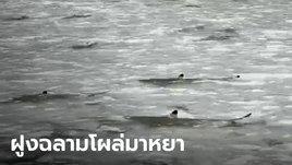 ฮือฮา ฝูงฉลามหูดำกว่า 40 ตัว โผล่ที่อ่าวมาหยา หลังปิดอุทยานไปนาน 3 ปี