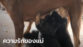 """ภาพสะเทือนใจ! """"เจ้ากาแฟ"""" แม่สุนัขถูกยิงกระสุนฝังใน ต้องทนเจ็บให้นมลูก 7 ตัวดูดกิน"""