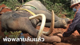 """""""ช้างพลายขุนแผน"""" สิ้นใจตายแล้ว หลังล้มป่วยนานหลายเดือน เพราะขาดอาหารช่วงโควิด"""
