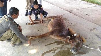 เหมือนม้ารู้ถูกลักพาตัว กระโดดลงจากรถหนีหน้าป้อมตำรวจ ได้รับบาดเจ็บ