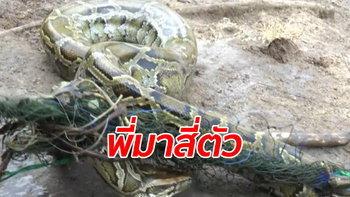 งูเหลือมยักษ์ 4 ตัว ยกครอบครัวหิวโซมาบุกฟาร์มเป็ด ฝันสลายเจอเจ้าของรู้ทัน