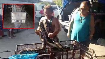 ฮือฮาทั้งตลาด! งูเหลือมใหญ่กว่า 4 เมตร แอบเข้ามากินไก่ ชาวบ้านแห่ตีเลขเด็ด