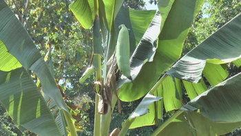 แห่ขอหวยต้นกล้วยประหลาด ออกลูกโทนเพียงลูกเดียว ขนาดเท่าแขน