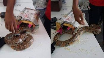 ไปรษณีย์มาเลย์ผงะ! เจองูหลามตัวเป็นๆ ยัดใส่กล่องพัสดุ
