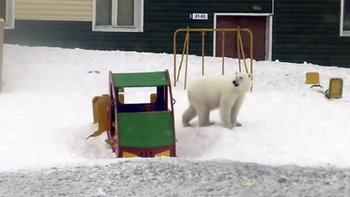 ประกาศภาวะฉุกเฉิน! ฝูงหมีขาว 50 ตัว บุกเมืองขั้วโลกรัสเซีย ชาวบ้านผวาโดนขย้ำ