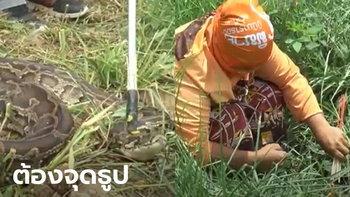 ชาวโคราชพบงูเหลือมกลางทุ่งนา ช่วยกันเท่าไหร่ก็จับไม่ได้ สุดท้ายต้องจุดธูปขอขมา
