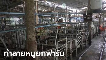 ไวรัสระบาดในหมู เจ้าของฟาร์มพะเยาจำใจทำลายทิ้ง 300 ตัว ปศุสัตว์ยันผู้บริโภคปลอดภัย