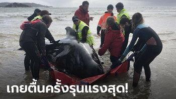สลด! วาฬเกยตื้นหาดออสเตรเลีย ดับอนาถ 380 ตัว ช่วยพาลงทะเลได้แค่ 50