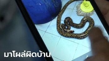 งูเหลือมโผล่ชักโครก กัดก้นสาวใหญ่ เจ้าตัวฮึดสู้ จับหักคอด้วยมือเปล่า ตายอนาถคาห้องน้ำ