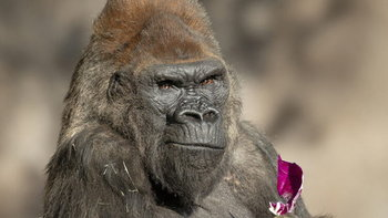 """9 ลิงใหญ่ในสวนสัตว์สหรัฐฯ ได้รับการฉีด """"วัคซีนโควิด-19"""" แล้ว"""