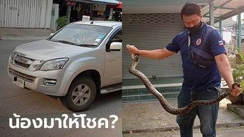 บีบแตรเตือนลั่นถนน งูเหลือมโผล่ฝากระโปรงรถ ก่อนเลื้อยหนีเข้าหน่วยเลือกตั้ง