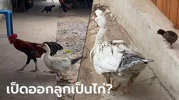 คู่รักต่างสายพันธุ์ ไก่ตัวผู้ผสมพันธุ์กับเป็ดตัวเมีย ออกไข่ 22 ฟอง มี 2 ตัว เป็นไก่