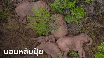 ทั่วโลกตามติดชีวิต ช้างป่าซุปตาร์ เผยภาพน่าเอ็นดูนอนหลับกลางป่าทั้งโขลง