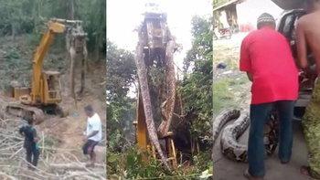 """ตะลึง ถางป่าเจอ """"งูยักษ์"""" บนเกาะโดมินิกา ถึงขั้นต้องใช้รถแบคโฮเคลื่อนย้าย"""