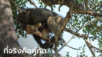 เผยความจริงสุดช็อก เบื้องหลังภาพคล้ายไลอ้อนคิง ลิงบาบูนอุ้มลูกสิงโตขึ้นต้นไม้