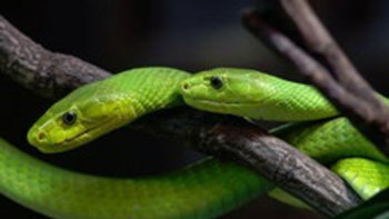 เตือน! งูเขียวแมมบ้าหลุด 15 ตัว พิษแรงถึงตาย